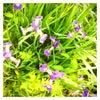 アヤメのお花の画像