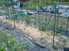 耕作放棄地をショベルで畑に開拓!週2日家庭菜園有機野菜栽培の記録 byウッチー-120529ミニトマトCF千果0313蒔き0409定植着果01