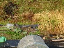 耕作放棄地をショベルで畑に開拓!週2日家庭菜園有機野菜栽培の記録 byウッチー-120529小麦はすずめの食堂