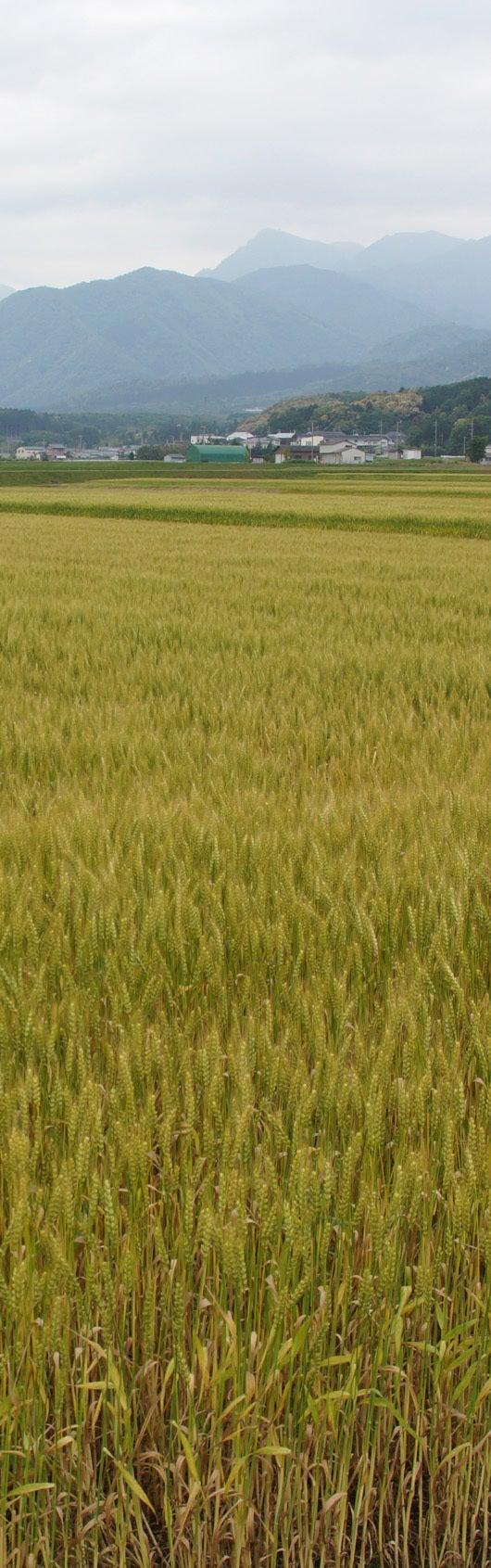 $哲レポート-菰野町の麦畑