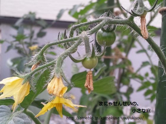 まにゃせんせいの、小さな庭-トマトの実り