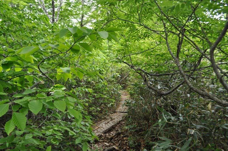 $白神山地ツアーの白神なびスタッフブログ-2012年6月上旬の白神山地・二ツ森5