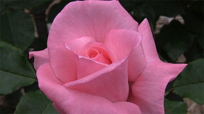 ののちゃんブログ-バラの名前は「アイコ」