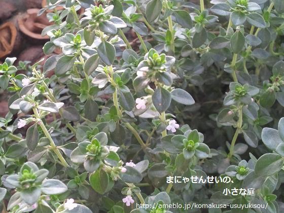 まにゃせんせいの、小さな庭-タイムの花