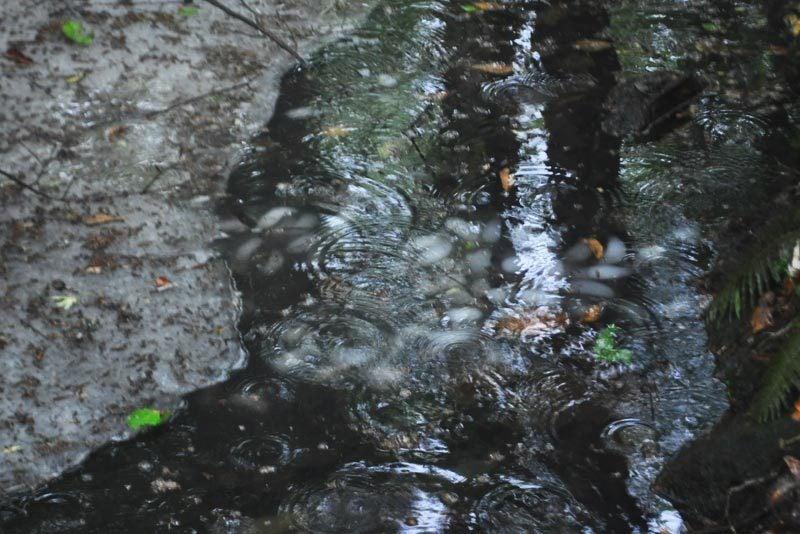 $白神山地ツアーの白神なびスタッフブログ-2012年6月上旬の白神山地・雨の岳岱7