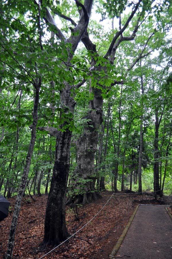$白神山地ツアーの白神なびスタッフブログ-2012年6月上旬の白神山地・雨の岳岱10