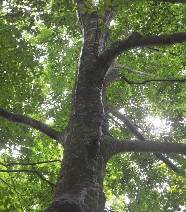 $白神山地ツアーの白神なびスタッフブログ-2012年6月上旬の白神山地・雨の岳岱5