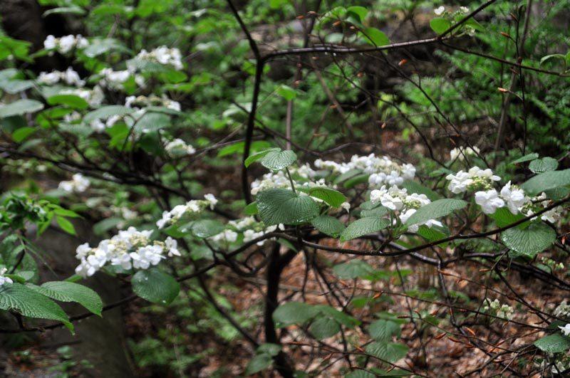 $白神山地ツアーの白神なびスタッフブログ-2012年6月上旬の白神山地・雨の岳岱3