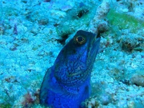 $奄美大島ダイビング魚ブログ-奄美大島ダイビング沖縄ジョウフィッシュ