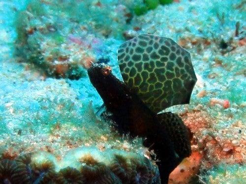 $奄美大島ダイビング魚ブログ-奄美大島ダイビング沖縄ホタテツノハゼ