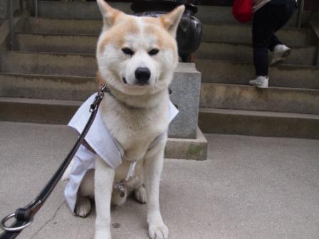 秋田犬カイの日常-三角寺7