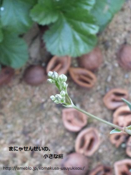 まにゃせんせいの、小さな庭-カスミソウ2