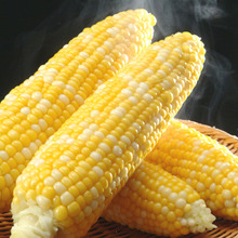 ヤシの木の下で設計してるつもりが…-corn