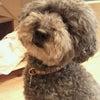 モップ犬(^_^)の画像