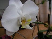 岡崎歯科クリニック 歯科・矯正歯科 のブログです-咲いた胡蝶蘭