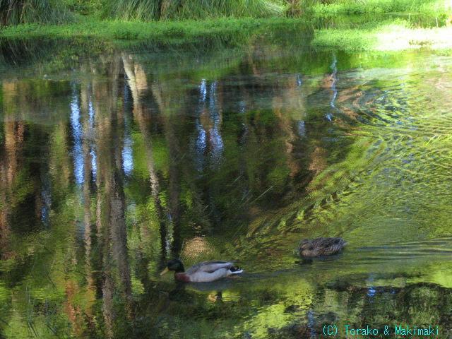 ニュージーランド半自給自足生活-瑠璃色の泉3