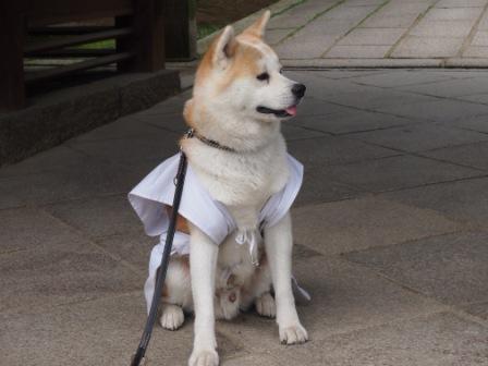 秋田犬カイの日常-神恵院5