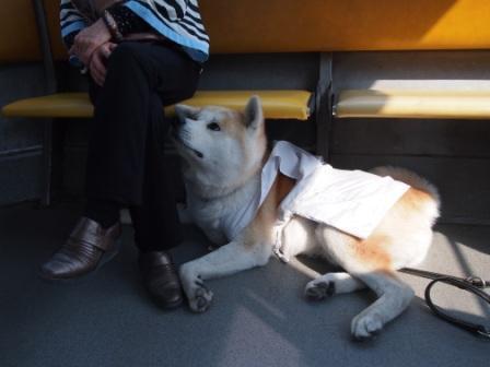 秋田犬カイの日常-雲辺寺5