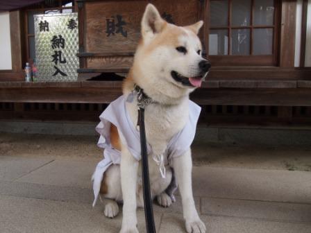 秋田犬カイの日常-大興寺5