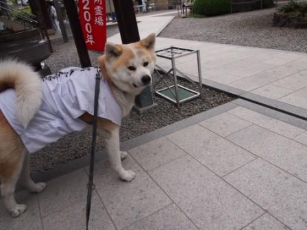 秋田犬カイの日常-大興寺1