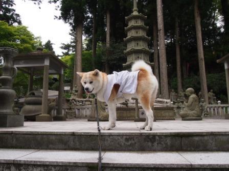 秋田犬カイの日常-雲辺寺12