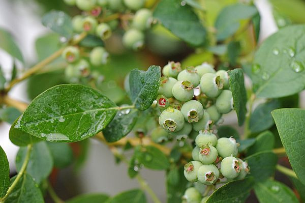 北海道の野生動植物写真-ブルーベリー