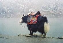 「キルギス ヤク」の画像検索結果
