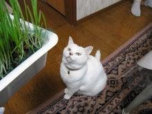 $鴻巣の整体院ささき 整体よもやま話-新鮮な猫草にロックオン状態