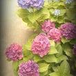 紫陽花ディスプレイの…