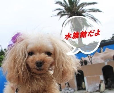 teacupプードルPOOH ちゃんの日記②  prism familia  (pooh 5歳♀800g ・ rhythm 2際♂1500g)