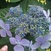 相沢しずかブログ444☆【あじさいo(^-^)o♪】の画像