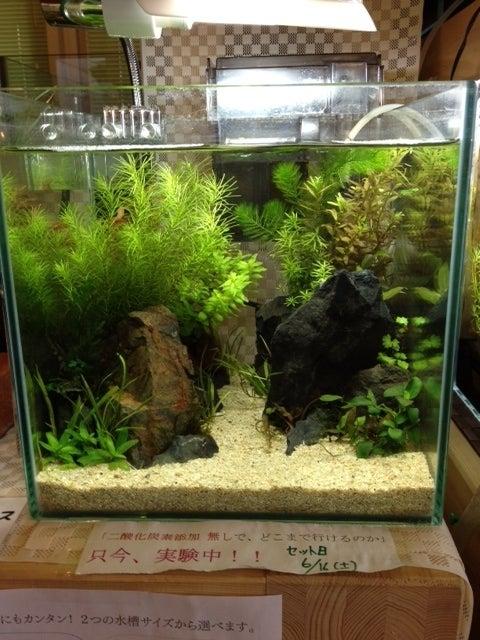 Co2 なし 水草 パールグラスをCO2添加無しで育成してみた結果