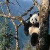 パンダ!!!の画像