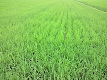$Agriculture fishermen野人スーさんの田舎暮らしブログ-201207130757000.jpg