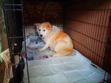 $山梨より犬の多頭崩壊 SOS!