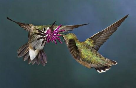 ハチドリの求愛、世界鳥写真2012...