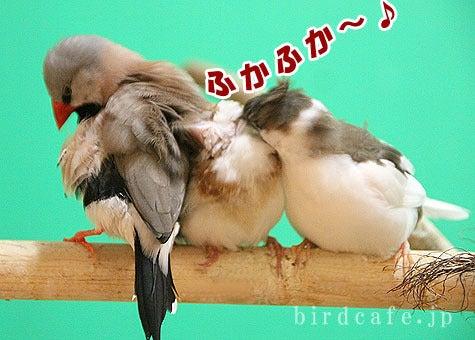 $ようこそ!とりみカフェ!!~鳥カフェでの出来事や鳥写真~-もふもふ気持ちいい十姉妹