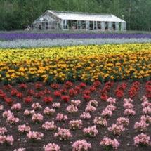 初夏の北海道:富良野…