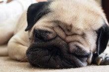いつも寝てるの・・・・・ | パグ犬こゆきのほんわか日記