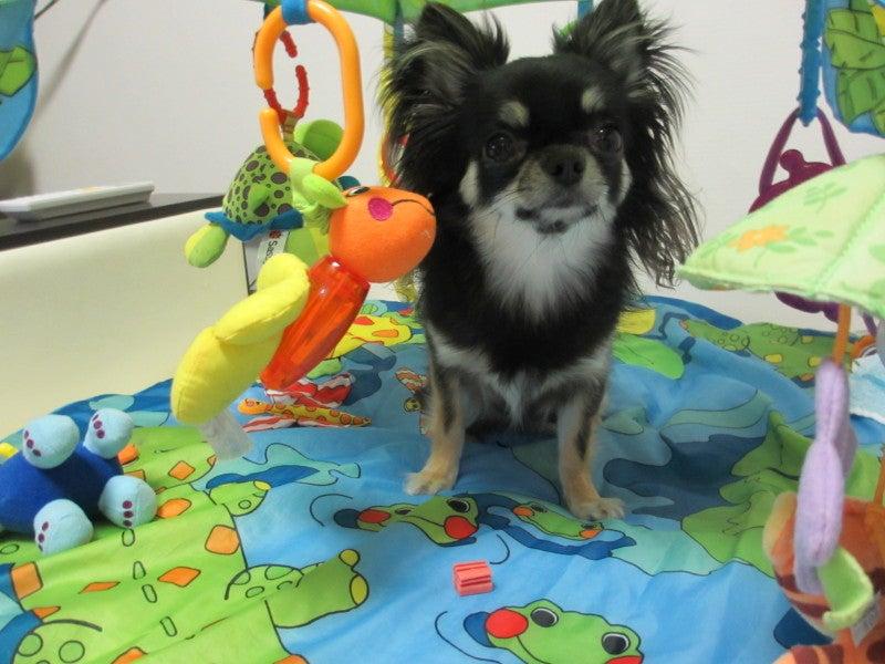 *。*。*。らむブロ*。*。*。~☆Happy Chihuahua Life☆~