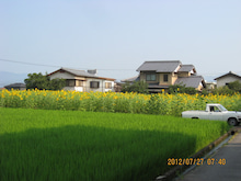 ヒマワリ開花4