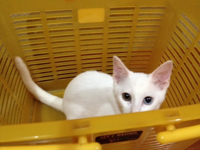白猫みゃあこ