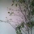 シンボリーツリーが枯…