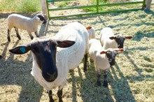 羊たち01