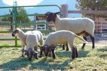 羊たち03