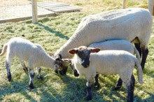 羊たち02