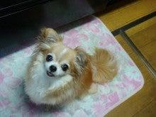 $【千葉県】チワワ~ズと手作り犬ごはんブログ