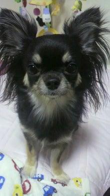 *。*。*。らむブロ*。*。*。~☆Happy Chihuahua Life☆~-2012080617130000.jpg