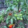 石垣トマトの画像