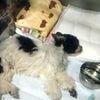 保護犬・シーズー♂けんた 命の灯火の画像